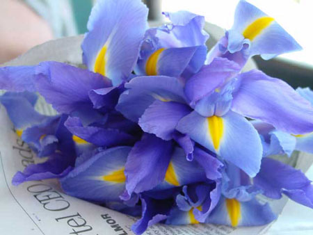 hoa iris